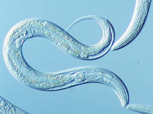 Worms: Models of Development