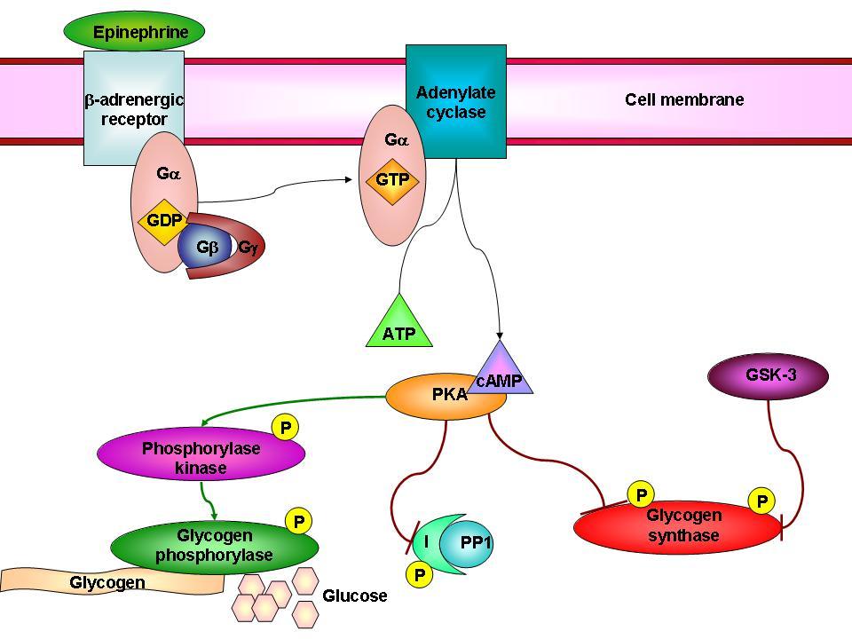 Basics of Protein Phosphorylation Part III: Family Ties - Diversity and Similarity Among Protein Kinases