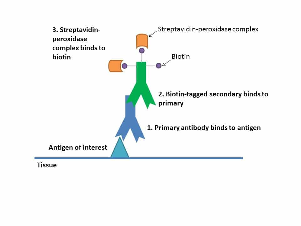 Immunohistochemistry: Getting The Stain You Want