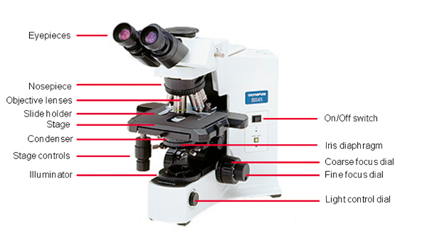 What Everybody Ought To Know About The Light Microscope Bitesize Bio