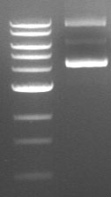 Is Supercoiled DNA Derailing Your Cloning?