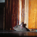 Can't See the Mouse for the Mice?! Solutions to Mouse-on-Mouse Immunohistochemistry Detection