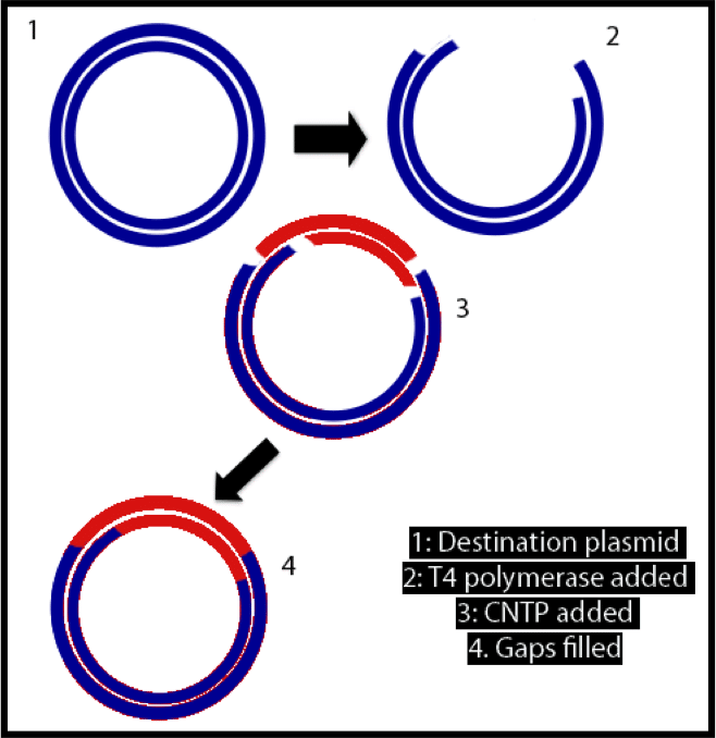 say goodbye to restriction enzymes and ligases an introduction to