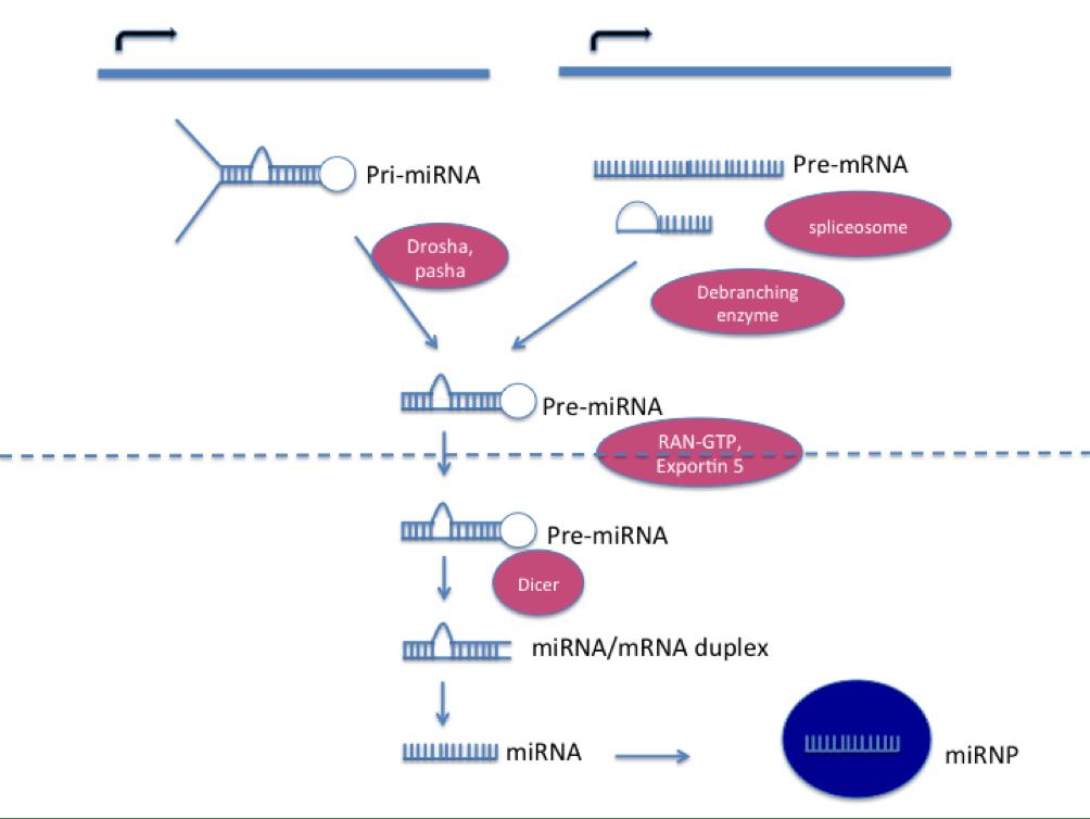 1)miRNA