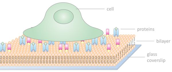 supported lipid bilayers