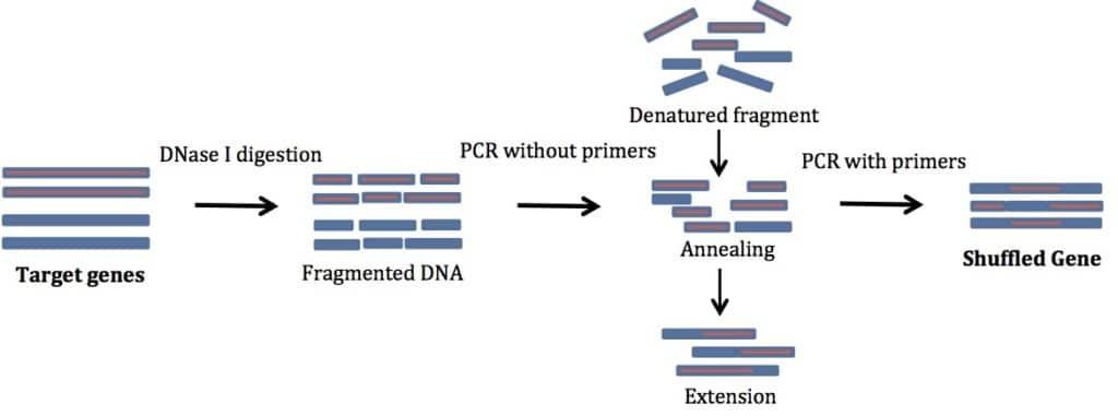 DNA Shuffling Like a Pro
