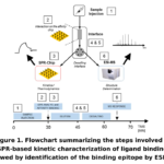 Examining Cell Interactions with Surface Plasmon Resonance (SPR) and Identifying Epitopes using SPR-Mass Spectrometry (MS)