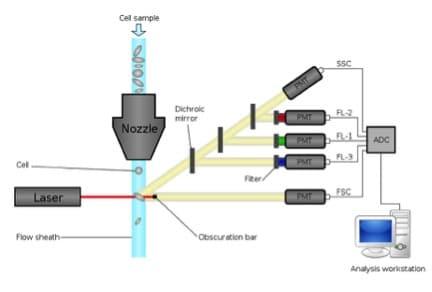 Hydrodynamic focusing in flow cytometry bitesize bio ccuart Images