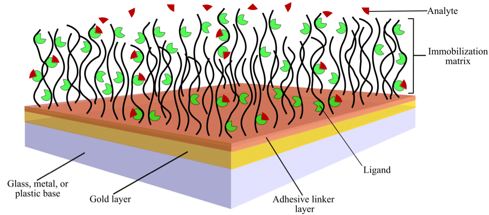 Schematic showing the surface of a typical sensor chip with immobilized ligand over which analyte is flowed