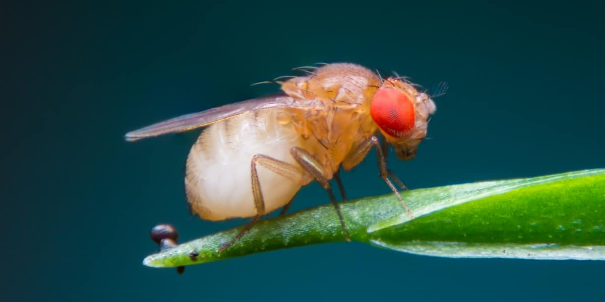 Image of a fruit fly to represent CRISPR-Cas9 editing in Drosophila