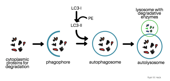 Shows the mechanism of autophagy. Begins with cytoplasmic proteins sent for degradation. Next panel shows the phagophore engulfing the cytoplasmic proteins. The third panel shows the autophagosome with the addition of LC3-II. The final panel shows the lysosome with degradative enzymes merging with the autophagosome to form the autolysosome.
