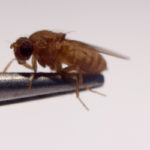 Image of a fruit fly (drosophila melanogaster) on a metal rod