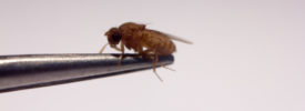 RNA Isolation from Drosophila – Don't Let the Cuticle Scare You!