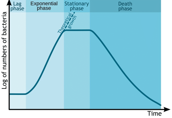 Phases of a bacterial growth curve. Illustration by Michael Komorniczak