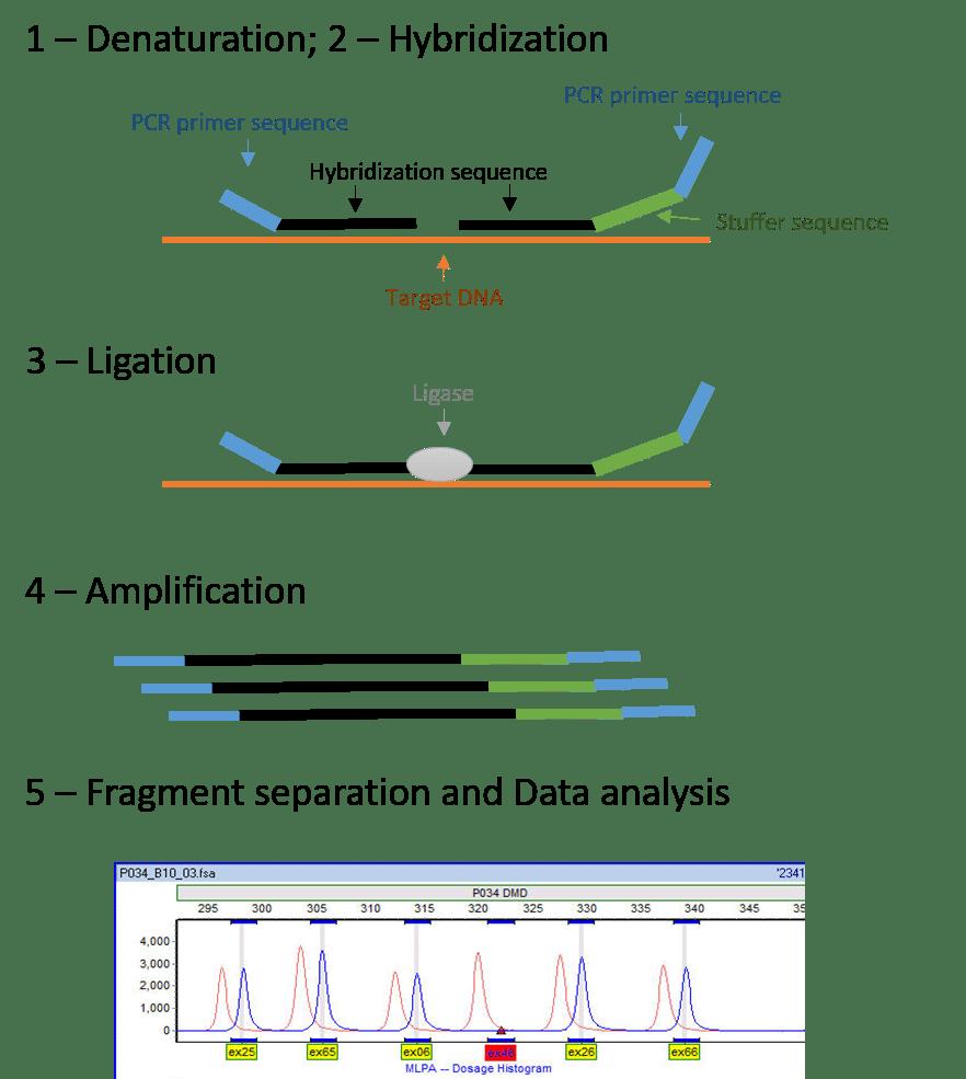 Multiplex Ligation-dependent Probe Amplification (MLPA)