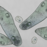 Microscopic of paramecium and amoeba