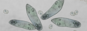 Microscopic image of paramecium and amoeba to represent live cell imaging techniques