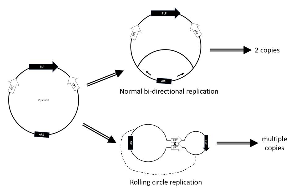 YEp (yeast episomal plasmid)