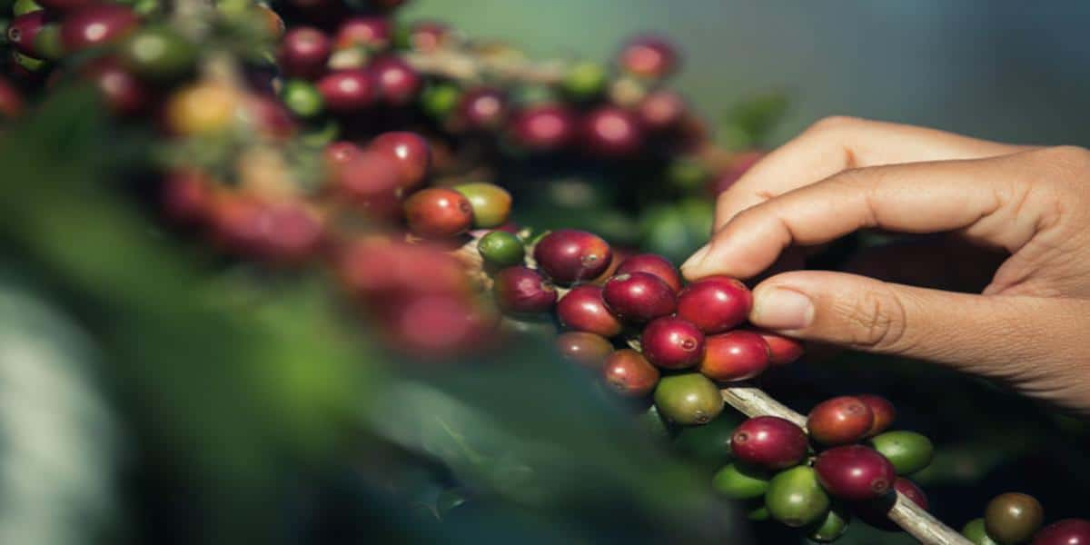 Hand picking coffee beans to show hwo you need to carefully pick a cell line