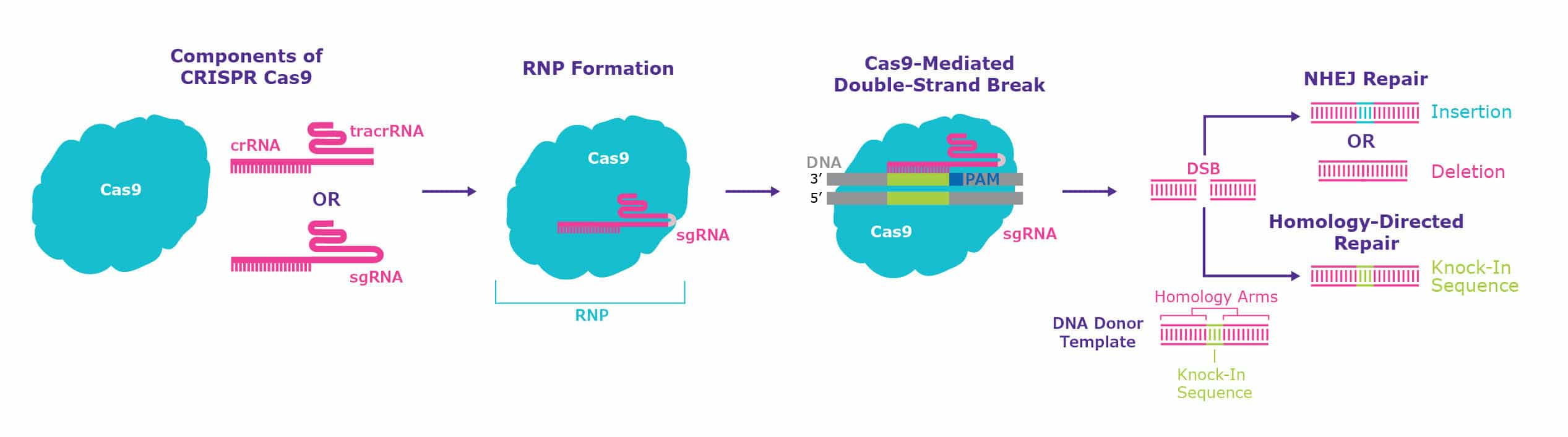 Schematic of CRISPR complex formation and generation of double-strand breaks.