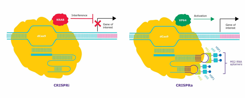 Schematic representation of CRISPRa and CRISPRi.