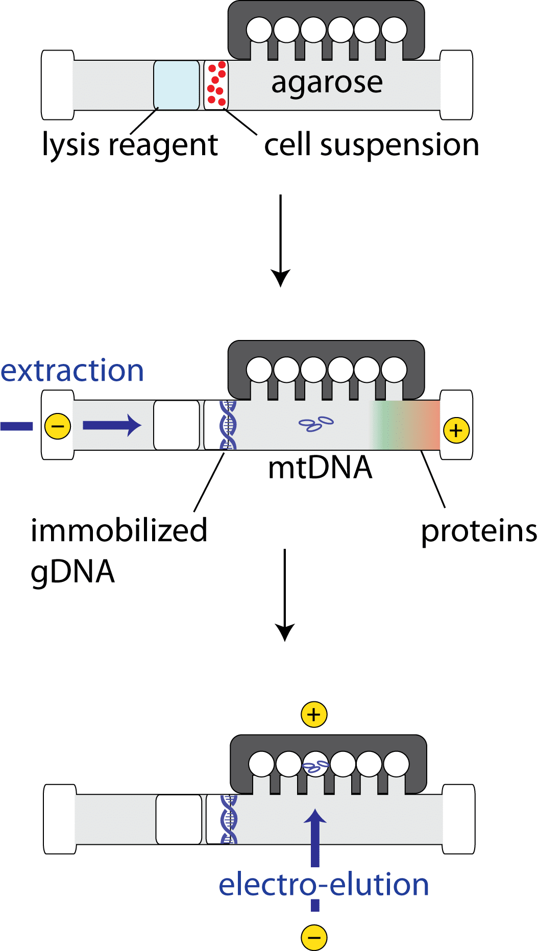 How to Isolate DNA from Mitochondria: An Energetic Guide