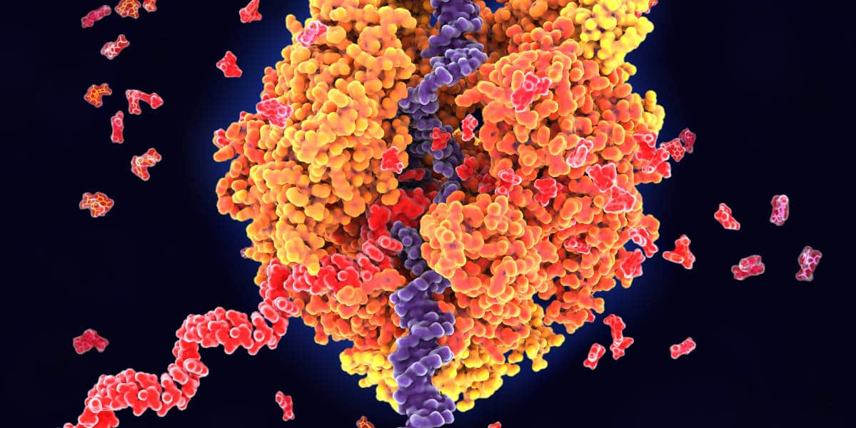 Image of DNA transcriptio to show how CRISPR can modify gene expression