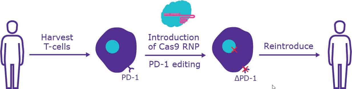 Diagram of how CRISPR can be used to disrupt PD-1 receptor in patient T cells.