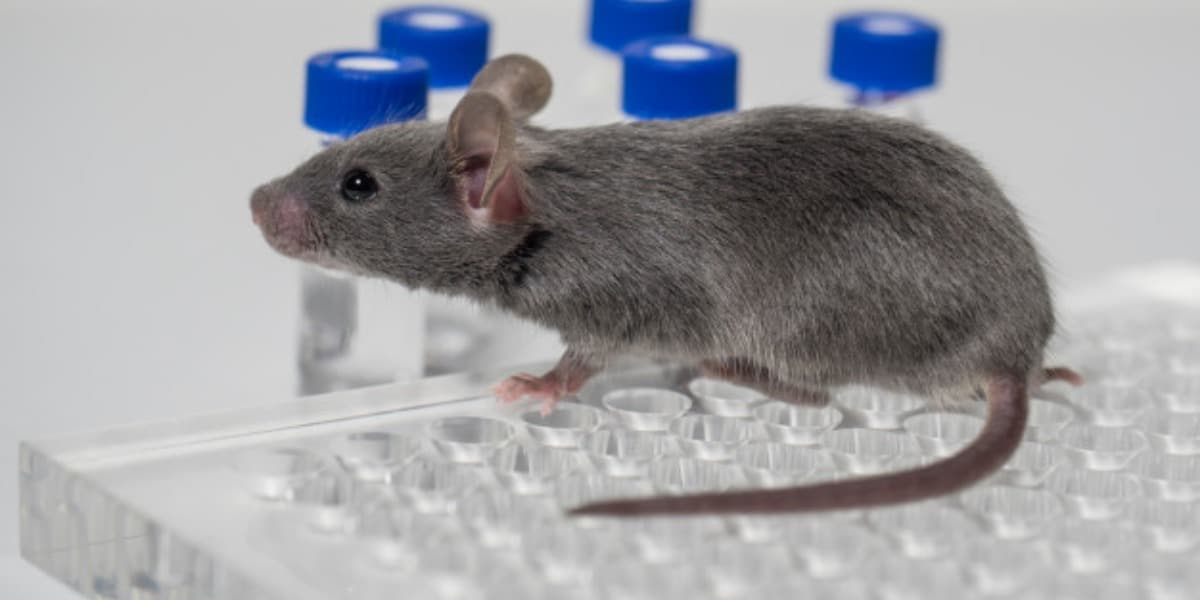 Gray mouse sitting on a 96-well plate with vials in the background