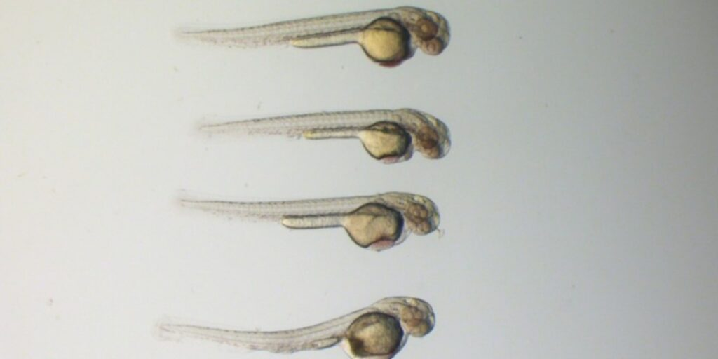 Image of 4 zebrafish to depicit how to measure movement in zebrafish