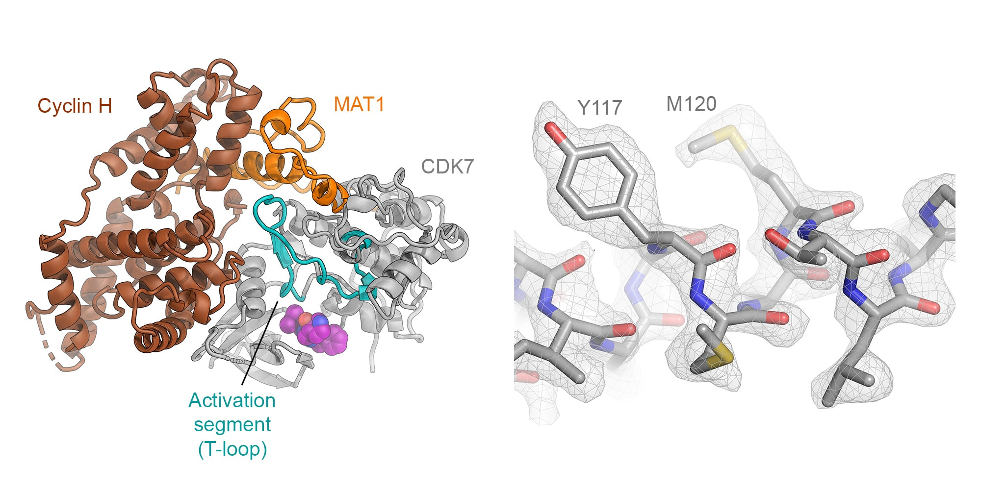 Cryo-EM reveals ligand binding in the SARS-CoV-2 spike protein and the human CDK-activating kinase