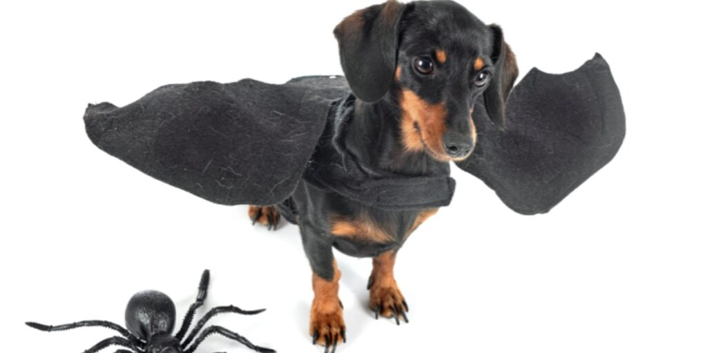 A picture of a dachshund dog wearing a pair of bat wings with a large plastic spider to represent the funniest Drosophila gene names