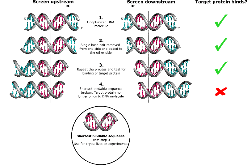 Crystallize Your Protein–DNA Complex by Optimizing These Key Parameters
